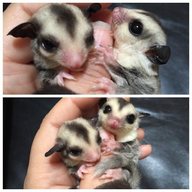 baby-heteroleucisticmosaicwhiteface